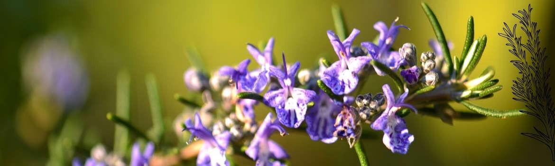 Eau florale de romarin 100ml